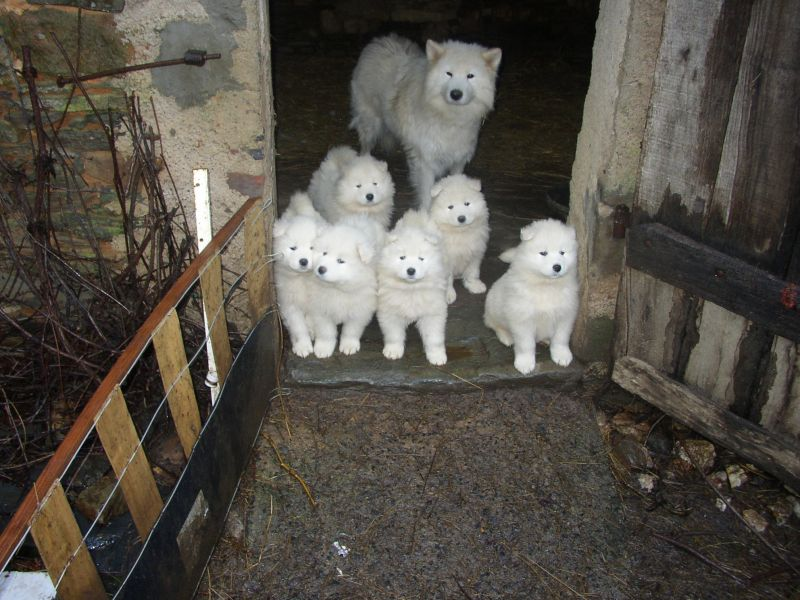 Chiots samoyedes haute selection lof