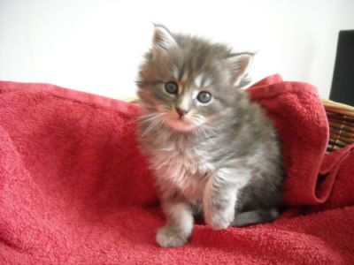 Donne chatons maine coon