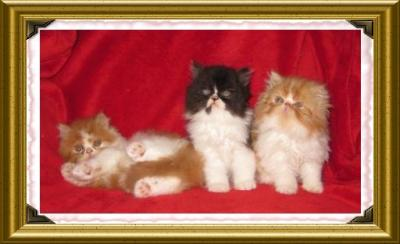 CHATONS PERSANS