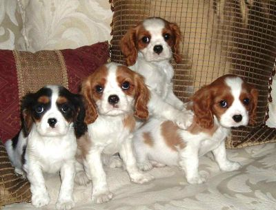 chiots cavalier king charles LOF a donner