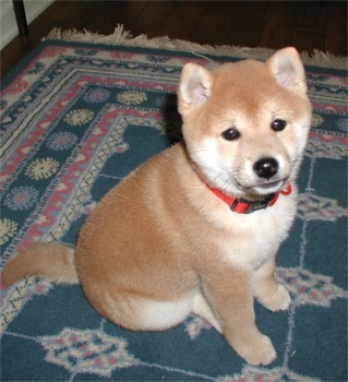 Adorable chiots shiba inu a donner