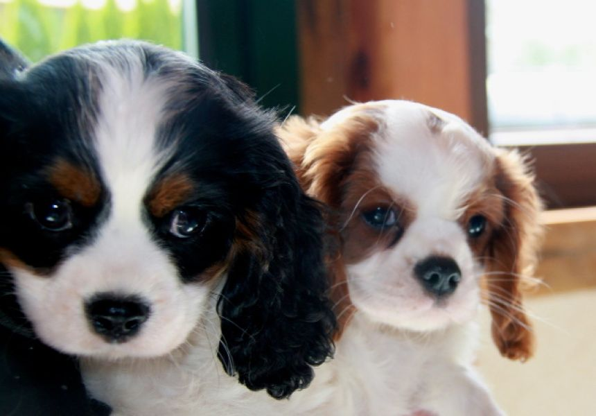 Adonner Chiots type cavalier king charles