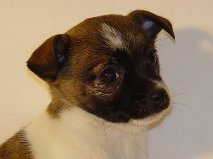 belle chiot type chihuahua lof